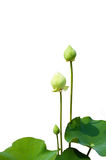 απομονωμένο λουλούδι λ& Στοκ Εικόνες