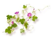 Απομονωμένο λουλούδι Convolvulus ή bindweed Στοκ Εικόνες