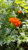 απομονωμένο λουλούδι marigold λευκό Στοκ εικόνα με δικαίωμα ελεύθερης χρήσης