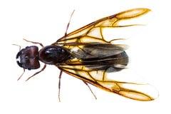 Απομονωμένο μαύρο μυρμήγκι βασίλισσας Στοκ Εικόνες
