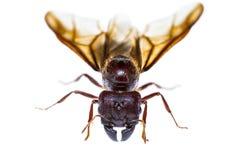 Απομονωμένο μαύρο μυρμήγκι βασίλισσας Στοκ φωτογραφία με δικαίωμα ελεύθερης χρήσης