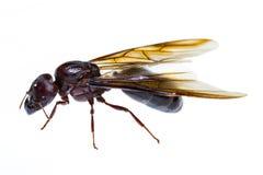 Απομονωμένο μαύρο μυρμήγκι βασίλισσας Στοκ εικόνες με δικαίωμα ελεύθερης χρήσης