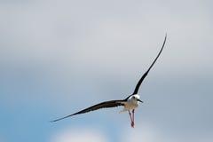 Απομονωμένο μαύρο φτερωτό ξυλοπόδαρο πετώντας Στοκ εικόνα με δικαίωμα ελεύθερης χρήσης