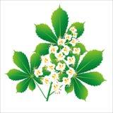 Απομονωμένο λουλούδι αντικείμενο κάστανων αλόγων ελεύθερη απεικόνιση δικαιώματος