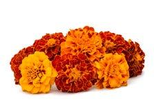απομονωμένο λουλούδι marigold λευκό Στοκ Φωτογραφίες