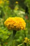απομονωμένο λουλούδι marigold λευκό Στοκ Εικόνα