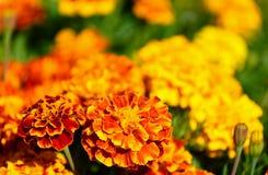 απομονωμένο λουλούδι marigold λευκό Στοκ Φωτογραφία