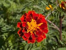απομονωμένο λουλούδι marigold λευκό Στοκ εικόνες με δικαίωμα ελεύθερης χρήσης