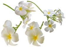 Απομονωμένο λουλούδι Plumeria Στοκ Φωτογραφία