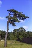 απομονωμένο πεύκο Στοκ εικόνα με δικαίωμα ελεύθερης χρήσης