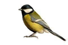 απομονωμένο πουλί tomtit λευ&k στοκ εικόνες