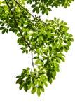 Απομονωμένο πράσινο φύλλο με το ψαλίδισμα του μονοπατιού Στοκ Εικόνες