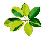 Απομονωμένο πράσινο φύλλο Στοκ Φωτογραφίες