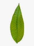 Απομονωμένο πράσινο φύλλο Στοκ Εικόνα