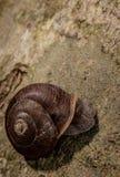 Απομονωμένο σαλιγκάρι Στοκ Φωτογραφίες