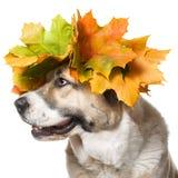 απομονωμένο σκυλί στεφάν&io Στοκ εικόνες με δικαίωμα ελεύθερης χρήσης