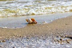 Απομονωμένο σπειροειδές θαλασσινό κοχύλι σε ένα αμμώδες υπόβαθρο Στοκ φωτογραφία με δικαίωμα ελεύθερης χρήσης