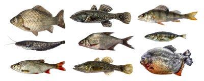 Απομονωμένο σύνολο συλλογής ψαριών Στοκ εικόνα με δικαίωμα ελεύθερης χρήσης