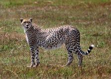 Απομονωμένο τσιτάχ Femal που στέκεται στις αφρικανικές πεδιάδες Στοκ Εικόνες