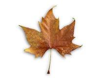 απομονωμένο φθινόπωρο φύλλο Στοκ Φωτογραφίες