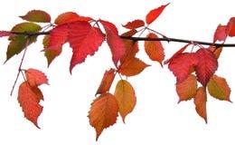 απομονωμένο φθινόπωρο φύλλο Στοκ φωτογραφίες με δικαίωμα ελεύθερης χρήσης