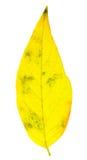 απομονωμένο φθινόπωρο φύλλο Στοκ Εικόνες