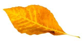 απομονωμένο φθινόπωρο φύλλο Στοκ εικόνα με δικαίωμα ελεύθερης χρήσης