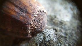 απομονωμένο φουντουκιά καρύδι ανασκόπησης πέρα από το λευκό Στοκ Φωτογραφίες