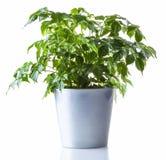 απομονωμένο φυτό σε δοχείο Στοκ εικόνα με δικαίωμα ελεύθερης χρήσης