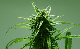Απομονωμένο φύλλο μαριχουάνα με τον οφθαλμό. Στοκ Εικόνες