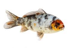 απομονωμένο ψάρια koi Στοκ Εικόνες