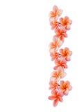 Απομονωμένο όμορφο γλυκό ρόδινο plumeria ή frangipani λουλουδιών Στοκ εικόνες με δικαίωμα ελεύθερης χρήσης