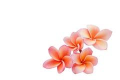 Απομονωμένο όμορφο γλυκό ρόδινο plumeria ή frangipani λουλουδιών Στοκ Εικόνα