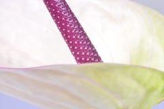 Απομονωμένο Anthurium λουλούδι κοντά επάνω Στοκ Φωτογραφίες