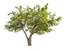 Απομονωμένο Apple-δέντρο με τα μικρά φρούτα Στοκ εικόνα με δικαίωμα ελεύθερης χρήσης