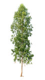 Απομονωμένο eucalyptustree στο άσπρο υπόβαθρο Στοκ Εικόνες