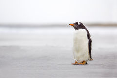 Απομονωμένο Gentoo Penguin (Pygoscelis Παπούα) σε μια εγκαταλειμμένη άσπρη άμμο Στοκ Φωτογραφία