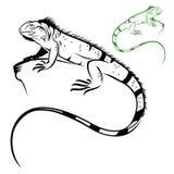 Απομονωμένο iguana ελεύθερη απεικόνιση δικαιώματος