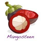 απομονωμένο mangosteen διάνυσμα Στοκ Εικόνες