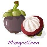 απομονωμένο mangosteen διάνυσμα Στοκ φωτογραφία με δικαίωμα ελεύθερης χρήσης