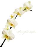 απομονωμένο orchid λευκό Στοκ Φωτογραφία