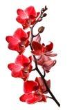απομονωμένο orchid λευκό Στοκ Εικόνα