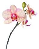 απομονωμένο orchid λευκό phalaenopsis Στοκ εικόνα με δικαίωμα ελεύθερης χρήσης