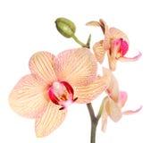 απομονωμένο orchid λευκό phalaenopsis Στοκ Εικόνα