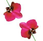 απομονωμένο orchid Στοκ εικόνα με δικαίωμα ελεύθερης χρήσης