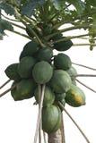 Απομονωμένο Papaya δέντρο Στοκ φωτογραφίες με δικαίωμα ελεύθερης χρήσης