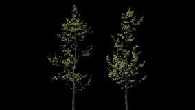 Απομονωμένο Platanus δέντρο απόθεμα βίντεο