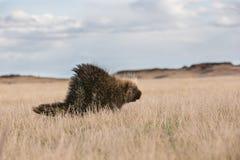 Απομονωμένο porcupine στον ορίζοντα λιβαδιών Στοκ Φωτογραφία