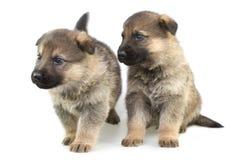 απομονωμένο puppys λευκό προβά Στοκ Φωτογραφίες