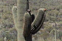 απομονωμένο saguaro Στοκ εικόνες με δικαίωμα ελεύθερης χρήσης